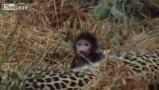 豹子误杀狒狒妈后变身奶妈照顾小狒狒