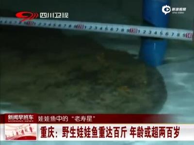 《汇说天下》 重庆:野生娃娃鱼重达百斤年龄或超两百岁
