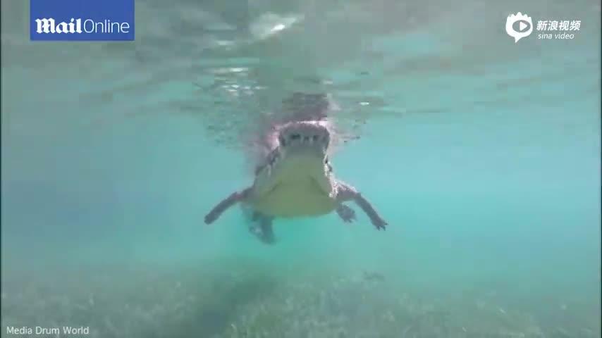 美国父女伴2米长鳄鱼游泳 几次差点咬到摄像机