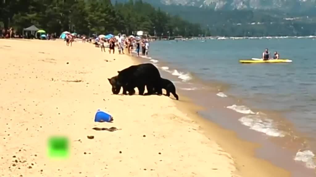 实拍美国黑熊一家3口水里畅游 无视周围路人