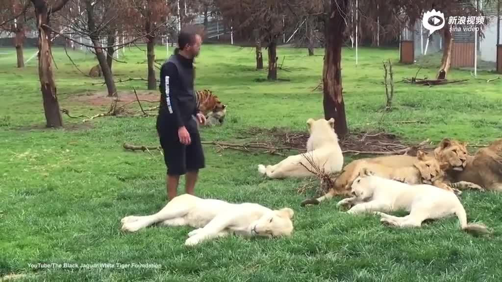 猎豹试图攻击饲养员 老虎及时搭救