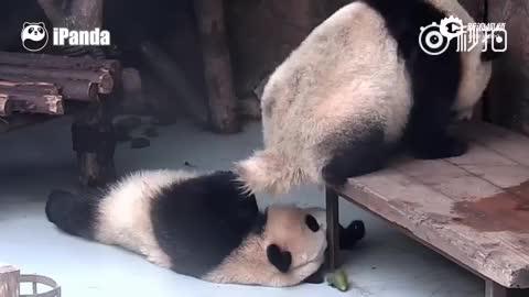交友不慎!熊猫团子躺着中翔
