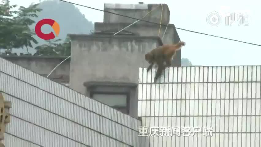 实拍泼猴闯居民家偷吃偷喝 众人天罗地网抓捕