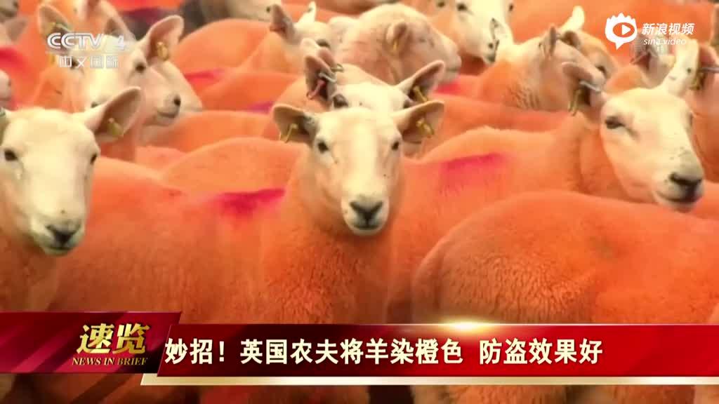 男子发明防盗奇招 把800只羊喷成橙色