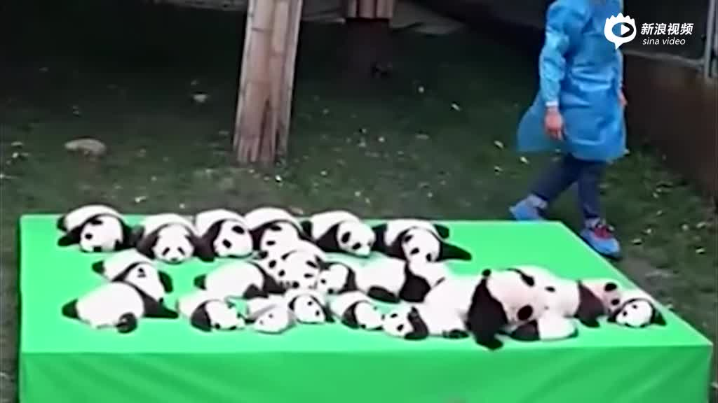 实拍成都23只新生大熊猫幼仔排排坐 简直萌化了
