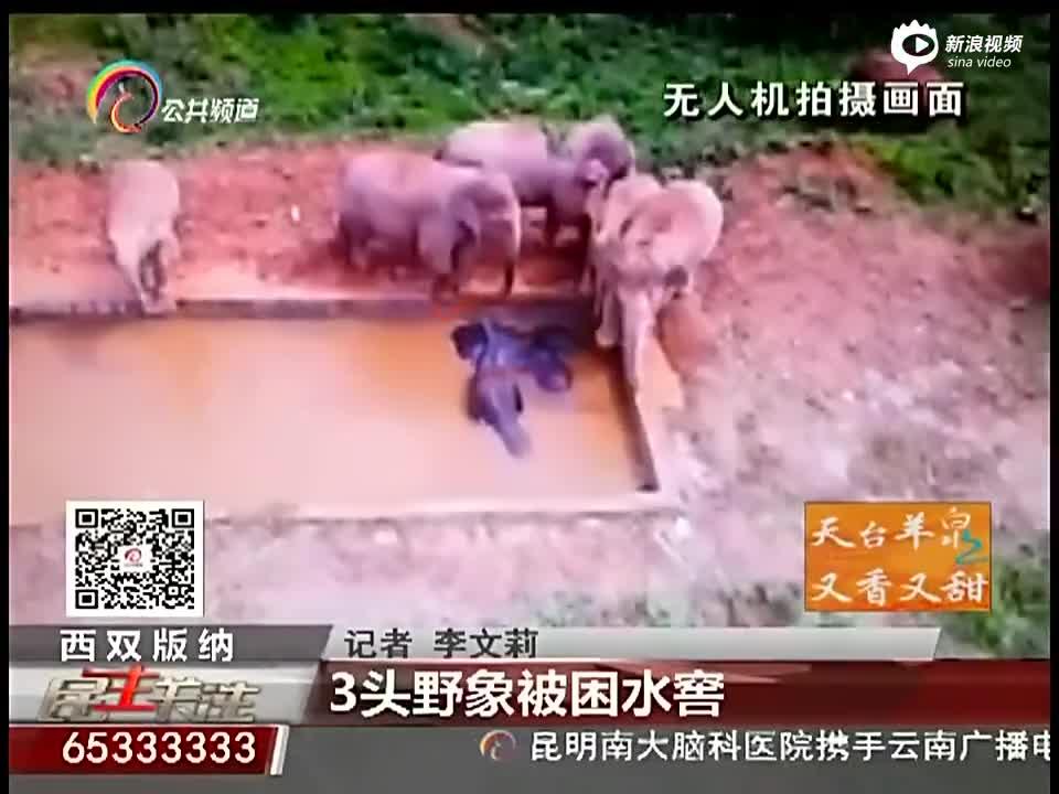 实拍云南3头野象被困深水池 17头同伴围观