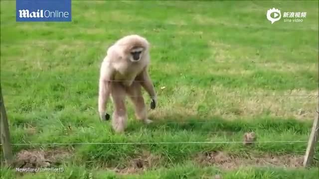 猩猩初见刺猬表现害怕又好奇