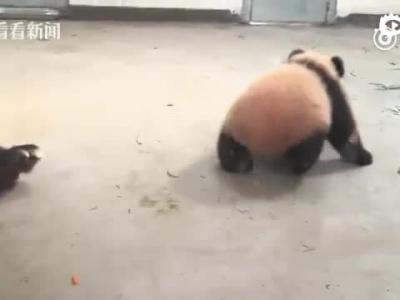 大熊猫母子突发重病死亡
