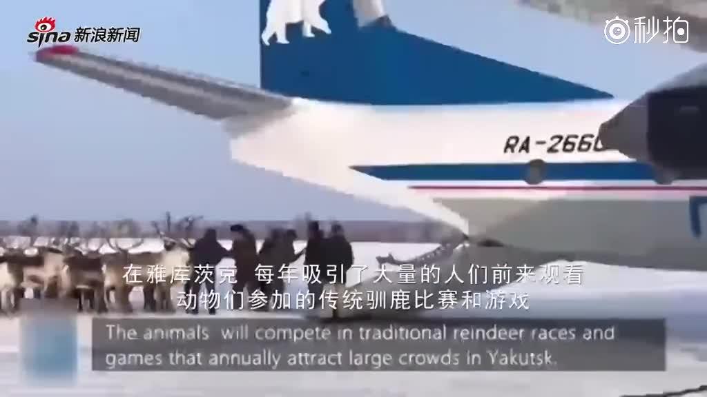 这待遇!俄罗斯数十只驯鹿搭喷气式飞机去参赛