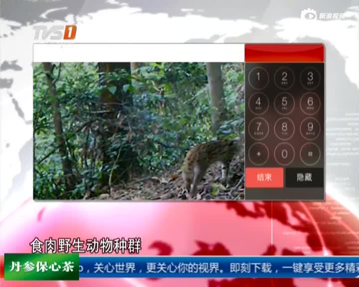 天下稀有!实拍深圳闹市泛起多只野生豹猫