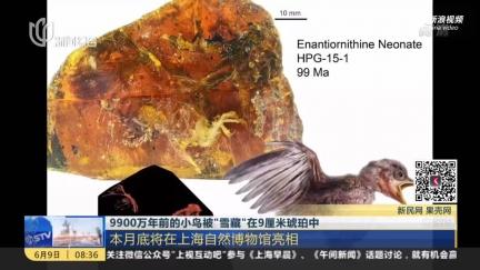 古生物学家发现9900万年前雏鸟琥珀