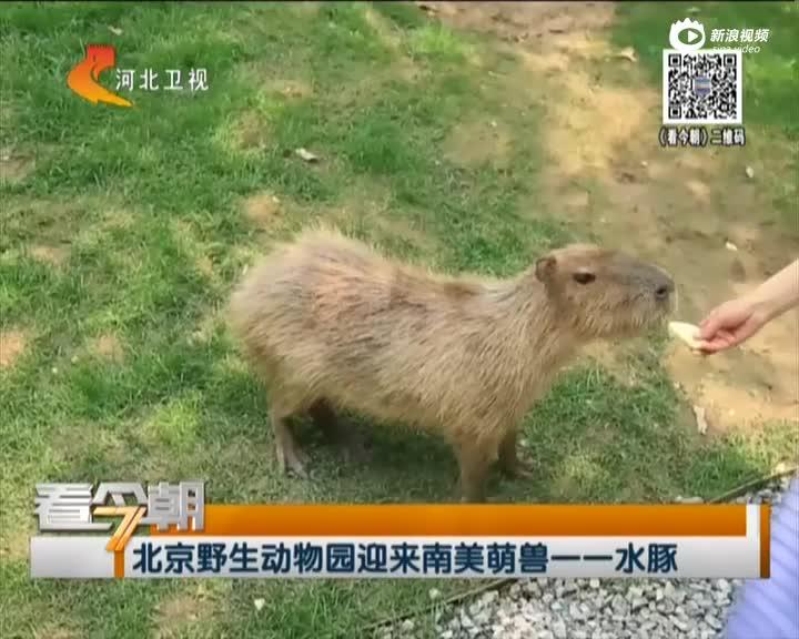 北京野生动物园迎来南美萌兽一一水豚
