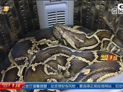 家中洗衣机藏了条52斤大蟒蛇