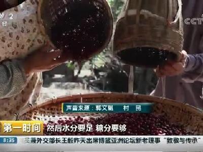 云南隆阳:人工饲养果子狸猫屎咖啡优势高