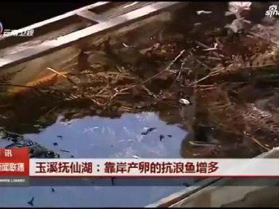 【视频】云南抚仙湖:靠岸产卵的抗浪鱼增多