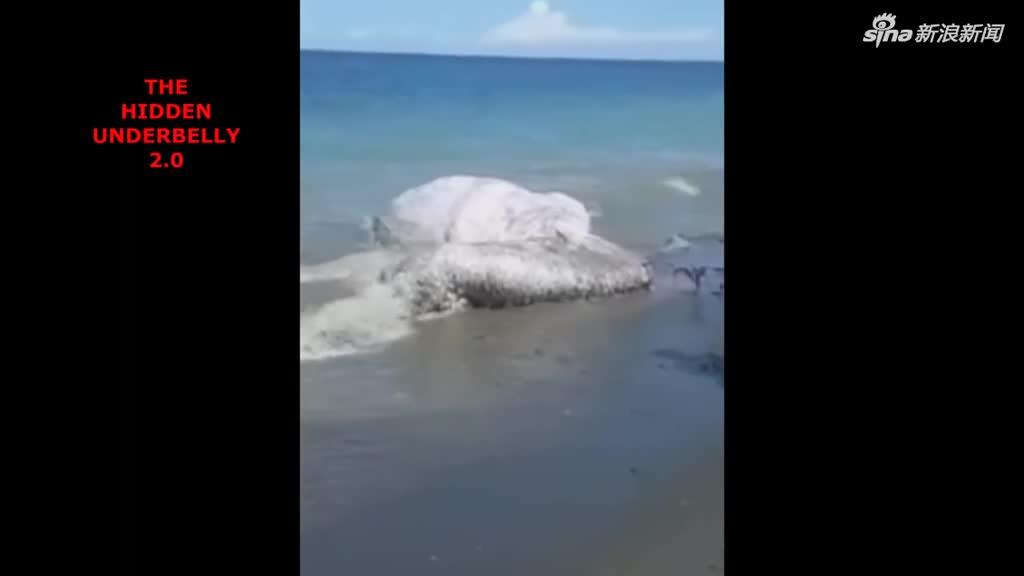 """视频丨菲律宾海滩上现深海巨大""""多毛怪"""""""
