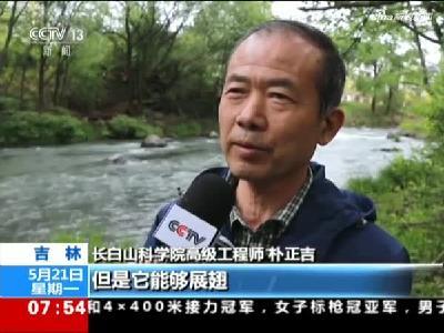 吉林:直击中华秋沙鸭繁殖季幼鸭跳巢