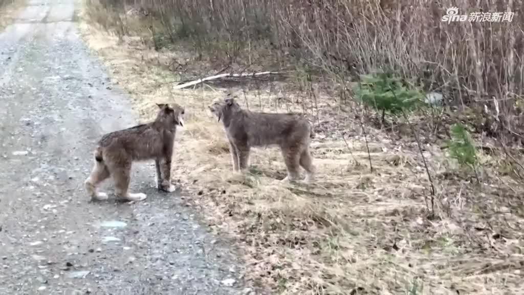 视频:声音魔性!加拿大两只山猫在路边互吼对峙