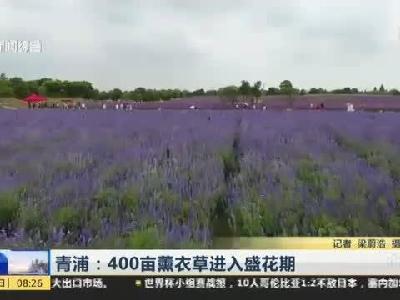 青浦400亩薰衣草进入盛花期