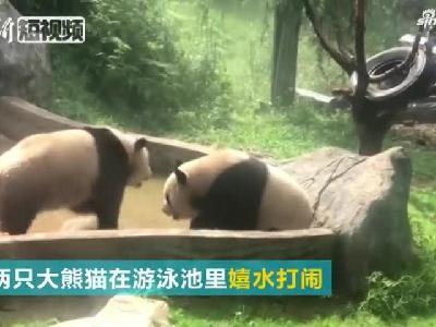 视频丨云南野生动物园泳池里大熊猫嬉水玩耍