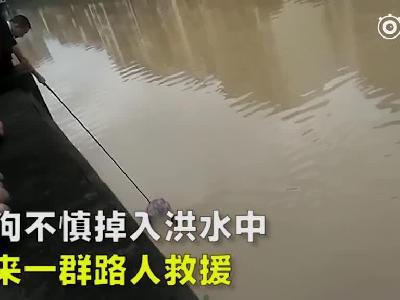 视频:小狗不慎掉入洪水 路人合力将其救上桥