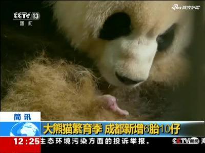 大熊猫繁育季  成都新增6胎10仔