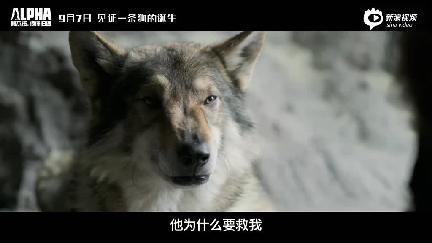 视频:《阿尔法:狼伴归途》终极预告 狼伴人归上演远古传奇