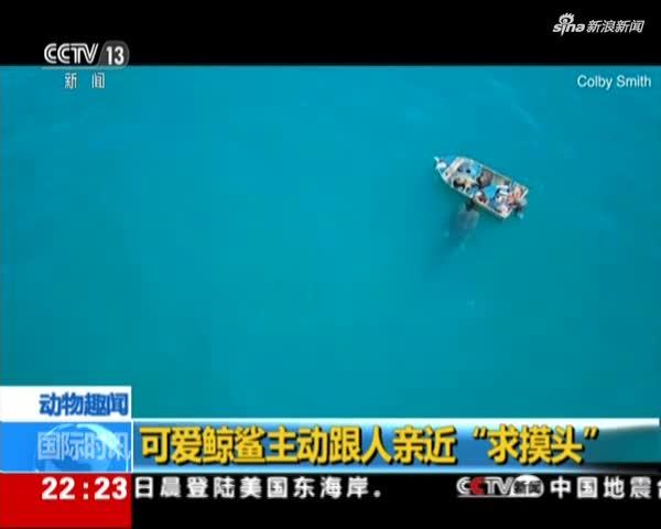 """视频:可爱鲸鲨主动跟人亲近""""求摸头"""""""