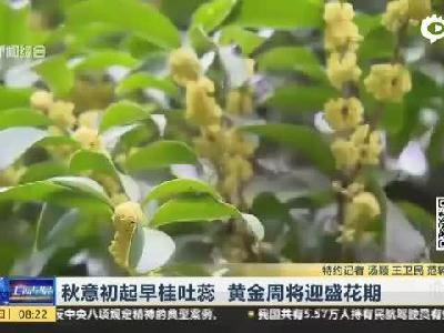 秋意初起早桂吐蕊  黄金周将迎盛花期