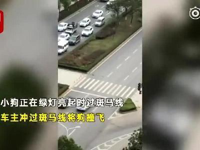 视频 女孩拍摄小狗等红绿灯过斑马线 却意外拍到轿车闯红灯撞飞小狗