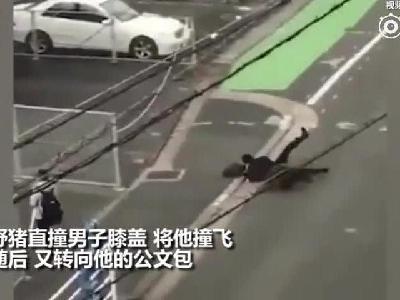 现场:日本男子步行途中被野猪撞飞 大腿受伤缝13针