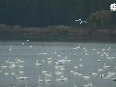 震撼!万只白天鹅从西伯利亚飞赴河南三门峡过冬