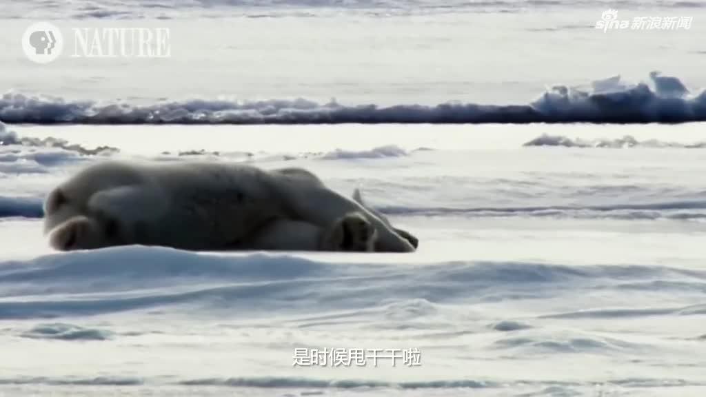 视频:激萌!北极熊上岸如何蹭干 神操作令人捧腹