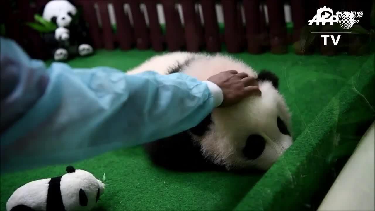 视频-养不起!马来西亚部长称将提前送还两只大熊猫