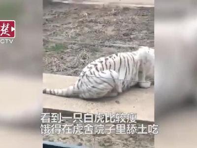 武汉动物园老虎饿到吃土?园方回应:它是在吃食物残渣