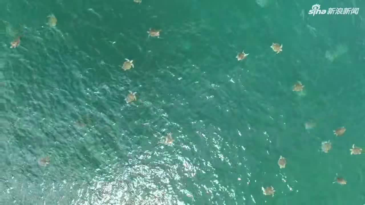 视频:上万只海龟浮出海面 海面密密麻麻超震撼