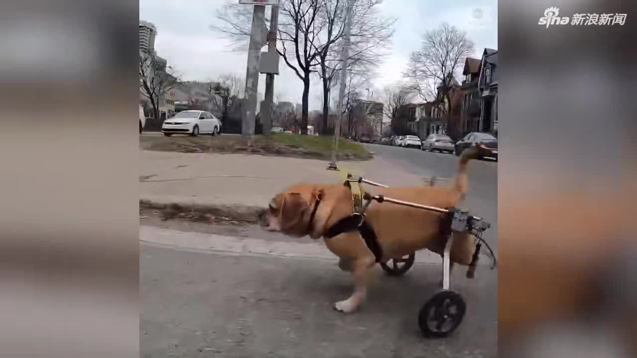 视频-后腿瘫痪的狗狗穿上了轮椅 兴高采烈带主人去
