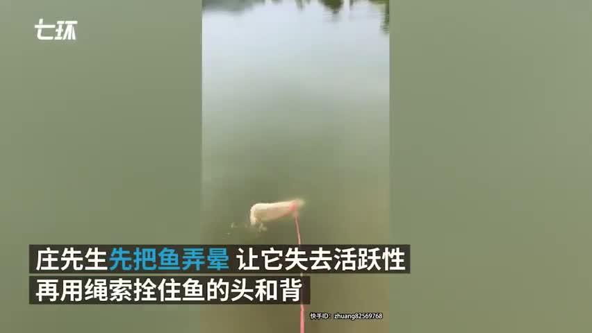 视频-男子牵绳到河边遛锦鲤