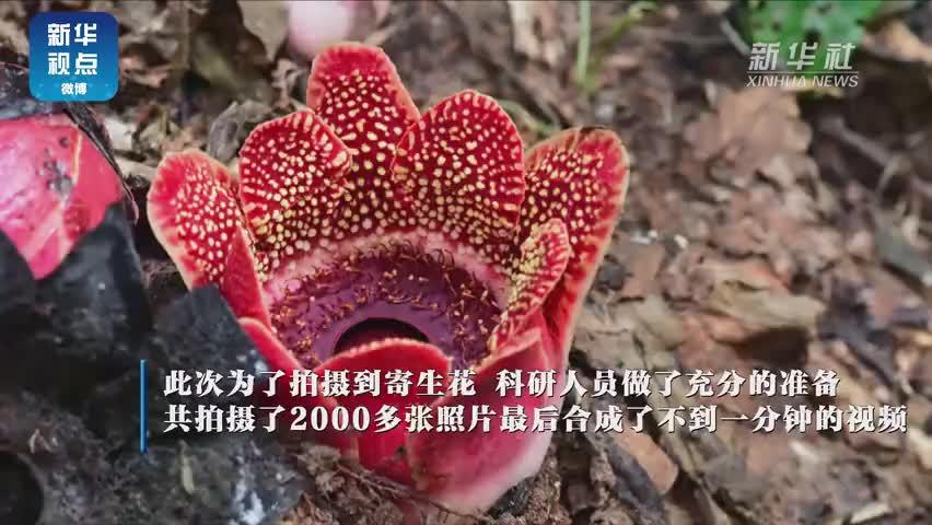 视频|惊艳!寄生花重现云南西双版纳