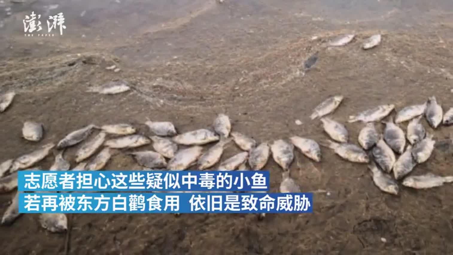 视频:多只东方白鹳被毒杀 天津警方立案调查