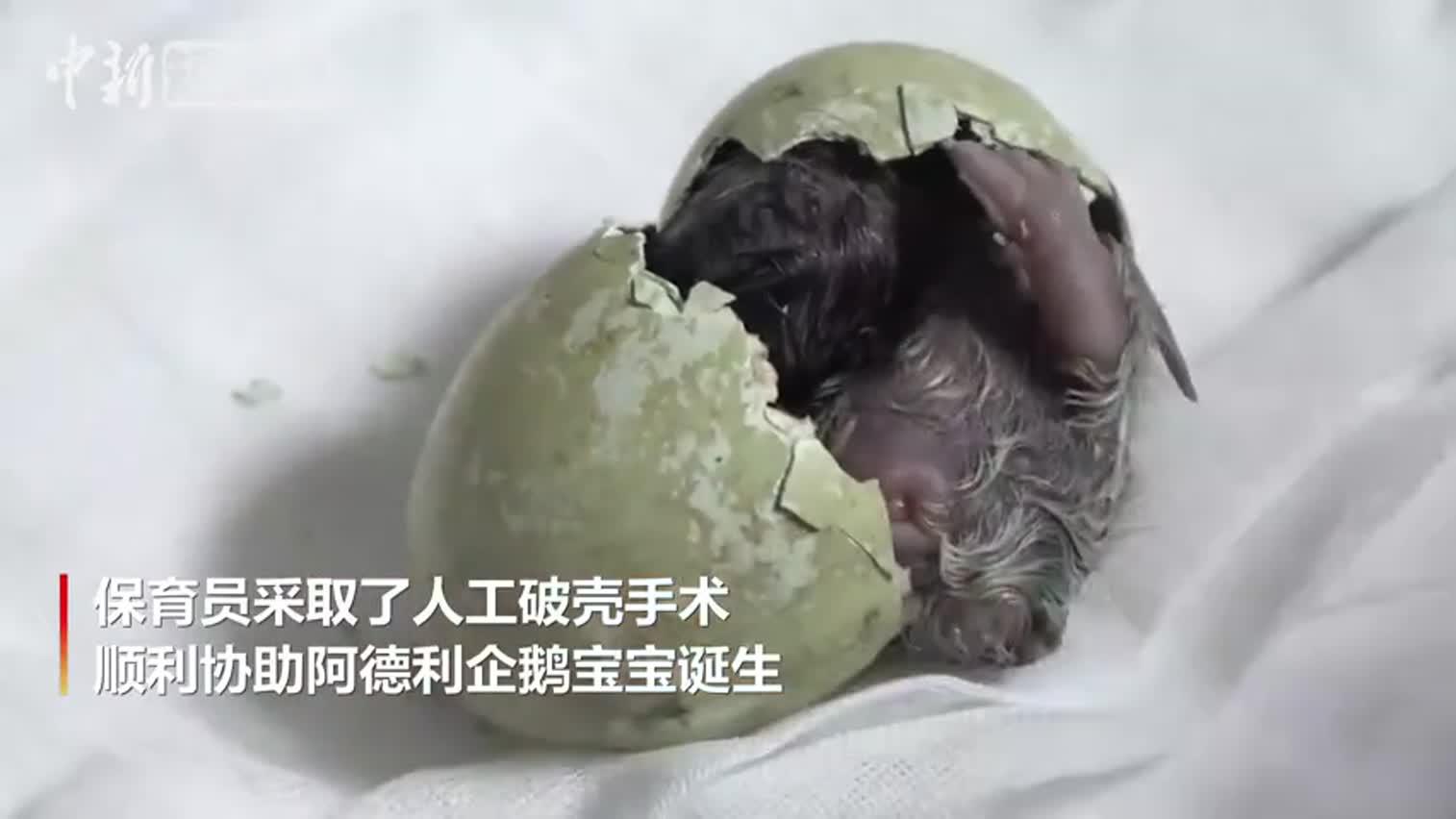 视频-近距离看企鹅宝宝破壳而出