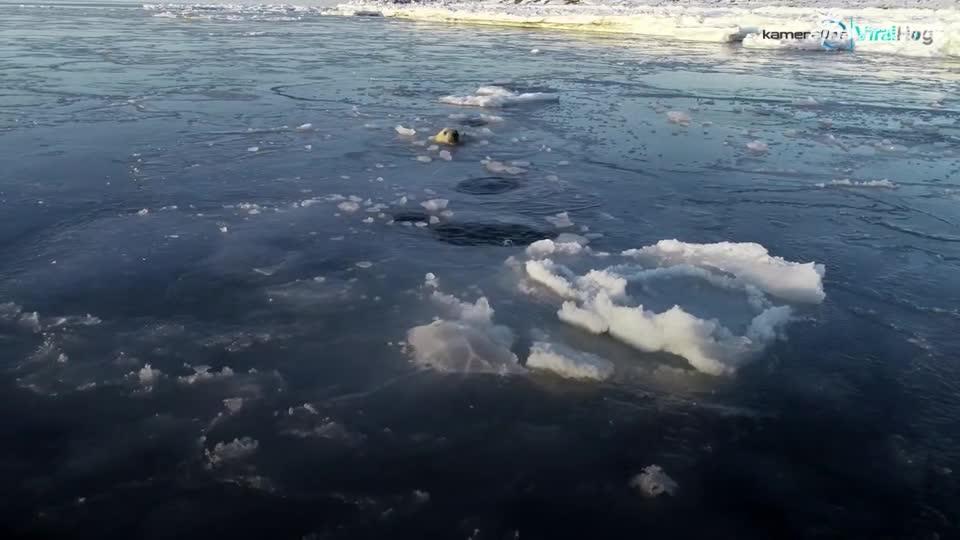视频:萌翻了!北极熊追着无人机连顶冰窟窿