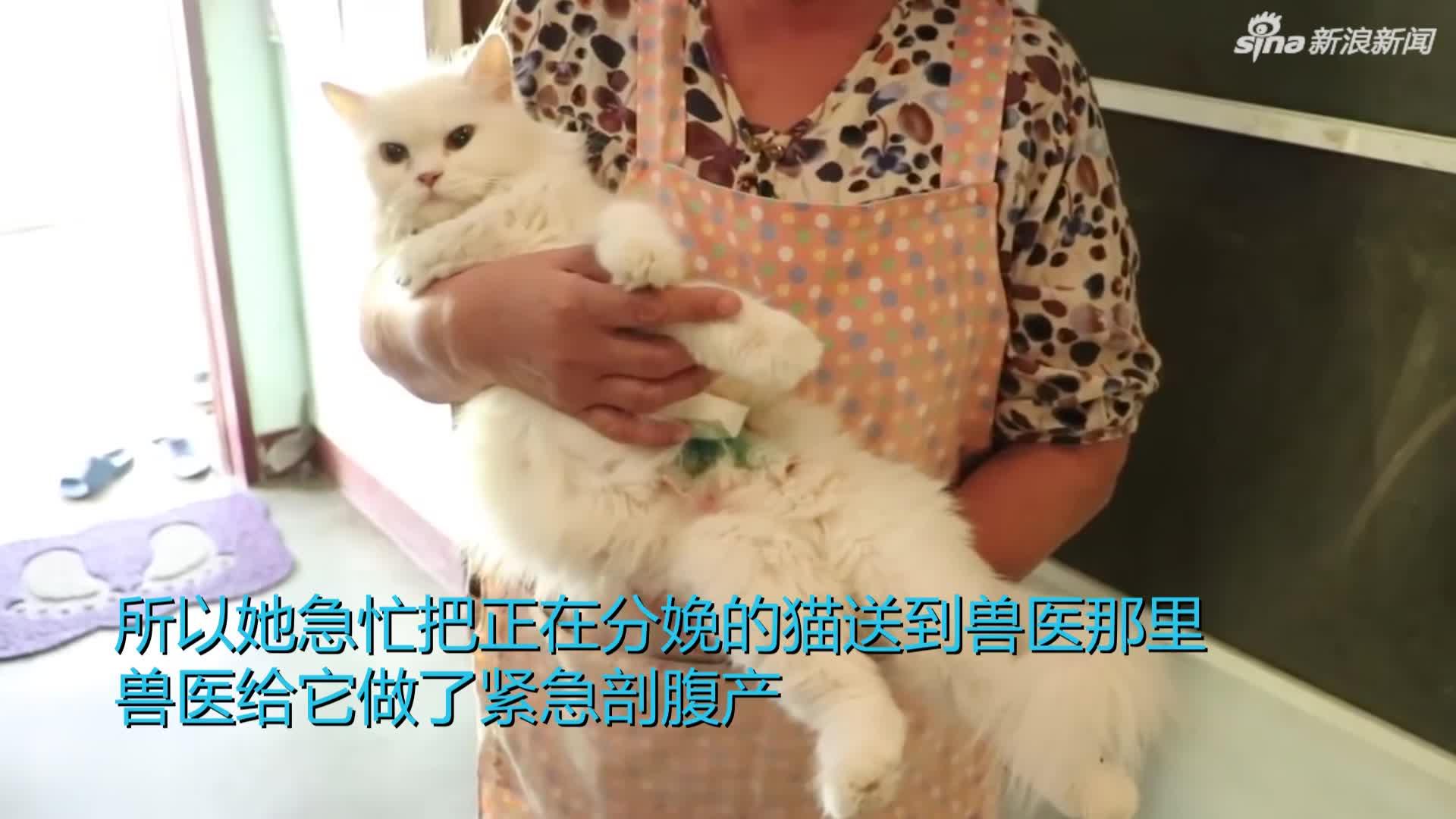 """视频-泰国波斯猫诞下""""双头猫""""超萌小精灵幸运存活"""