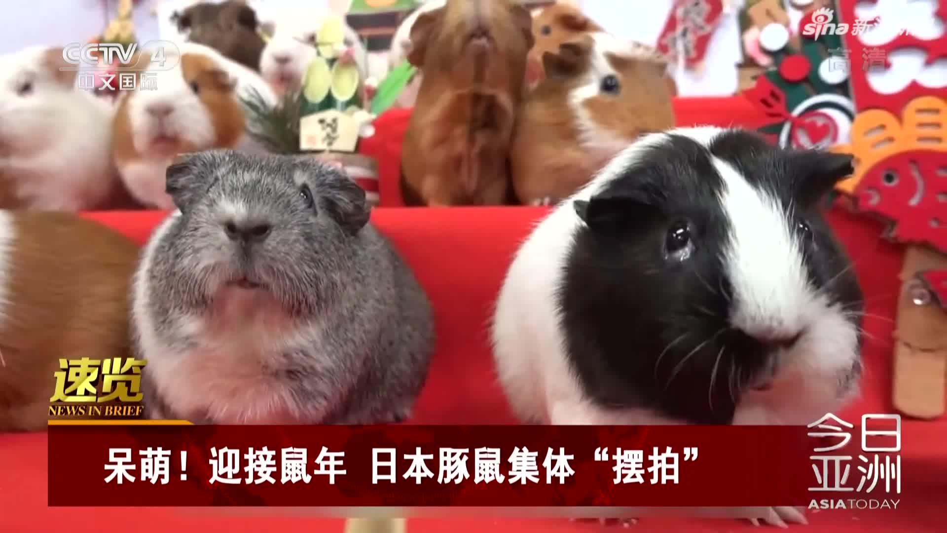 """视频-呆萌!迎接鼠年  日本豚鼠集体""""摆拍"""""""