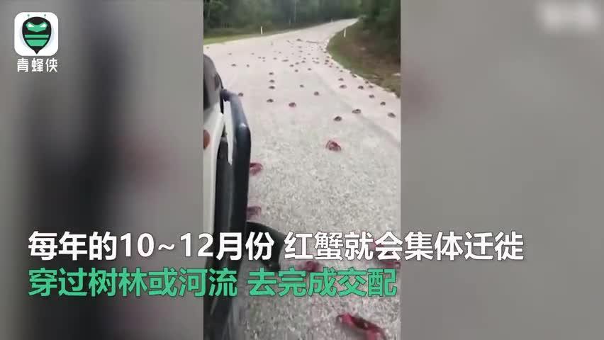 视频-还记得千万只为爱奋不顾身横穿马路惨死的红蟹