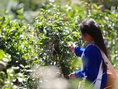 千年古茶树孕育致富新商机