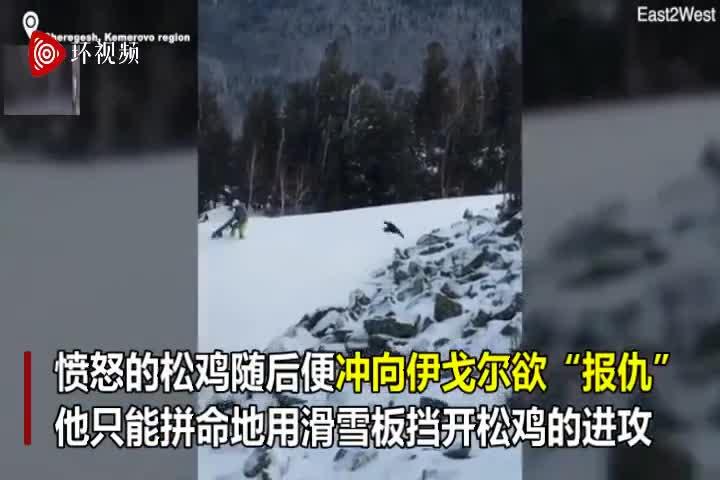 视频-西伯利亚一只松鸡被溅一身雪 愤怒冲向滑雪者