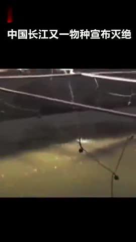 """视频-""""中国最大淡水鱼""""长江白鲟被科学家证实已灭"""