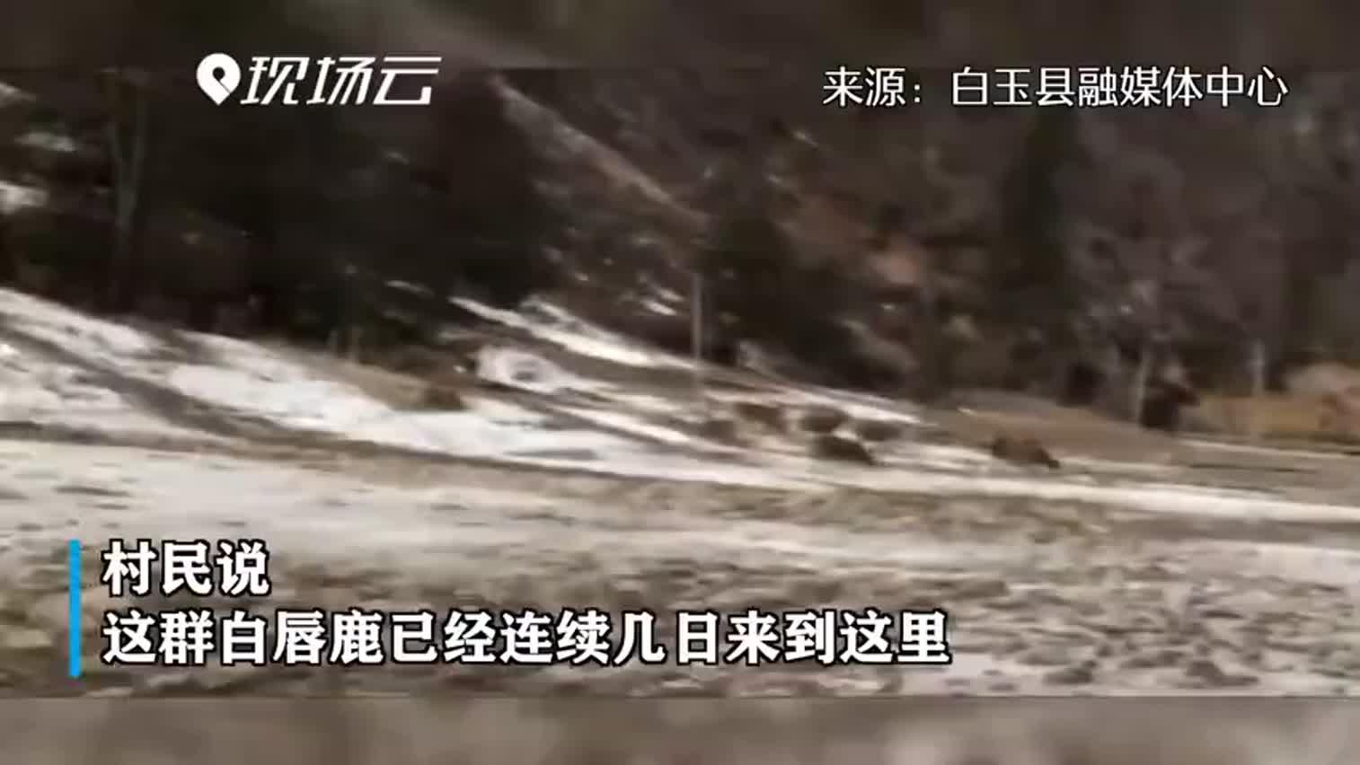 视频|四川甘孜拍到国家一级保护动物白唇鹿
