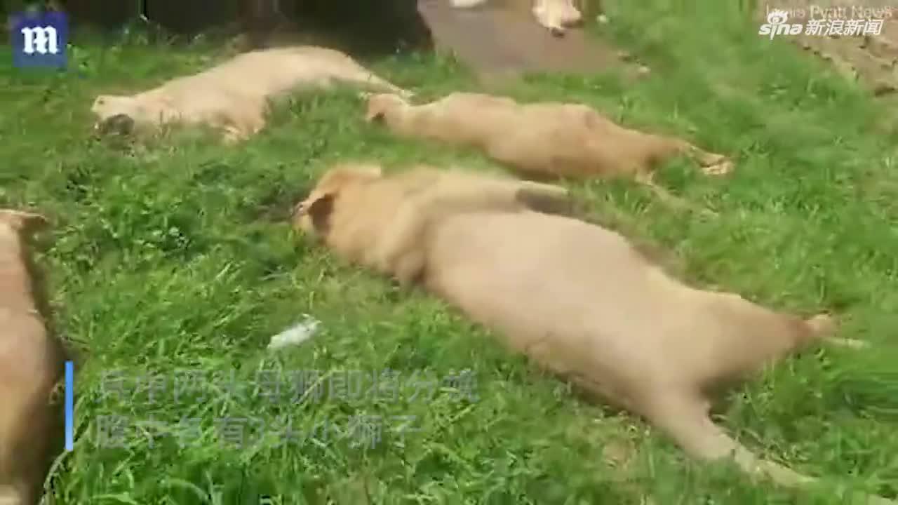 视频-偷猎者用毒鸡杀死10只狮子后砍下爪子 仅一